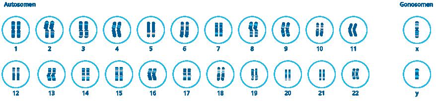 Schematische Darstellung des menschlichen Chromosomensatzes